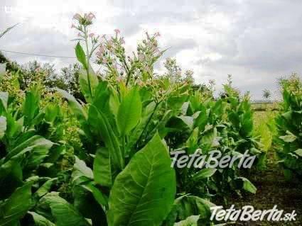 Živý plot z tabaku, foto 1 Dom a záhrada, Zo záhradky | Tetaberta.sk - bazár, inzercia zadarmo
