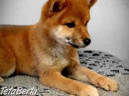 Krásná fenka Shiba Inu Puppies , Zvieratá, Psy  | Tetaberta.sk - bazár, inzercia zadarmo