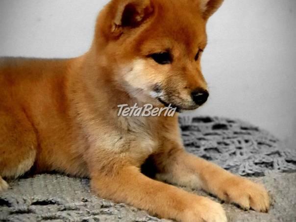 Krásná fenka Shiba Inu Puppies, foto 1 Zvieratá, Psy   Tetaberta.sk - bazár, inzercia zadarmo