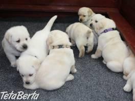 Labrador - šteniatka s rodokmeňom pôvodu s PP , Zvieratá, Psy  | Tetaberta.sk - bazár, inzercia zadarmo