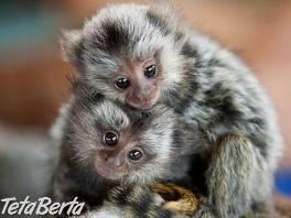 2 Marmoset opice pre nový domov.
