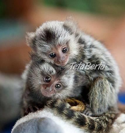 2 Marmoset opice pre nový domov., foto 1 Zvieratá, Ostatné | Tetaberta.sk - bazár, inzercia zadarmo