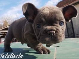 Predám šteniatka francúzskeho buldoga , Zvieratá, Psy  | Tetaberta.sk - bazár, inzercia zadarmo