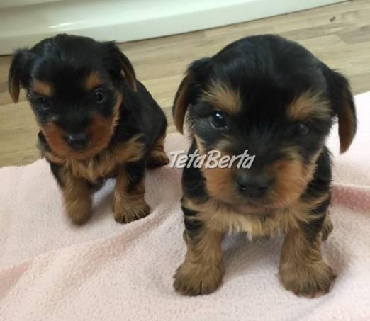 Rozkošné jorkšírske šteniatka pre domácich miláčikov, foto 1 Zvieratá, Psy | Tetaberta.sk - bazár, inzercia zadarmo