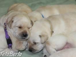 Labrador - šteniatka s rodokmeňom pôvodu , Zvieratá, Psy  | Tetaberta.sk - bazár, inzercia zadarmo