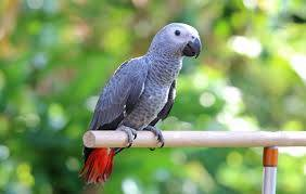 Africké sivé papagáje Zako, foto 1 Zvieratá, Ostatné | Tetaberta.sk - bazár, inzercia zadarmo