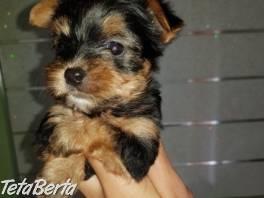 krásne šteniatko Yorkshire terrier , Zvieratá, Psy    Tetaberta.sk - bazár, inzercia zadarmo