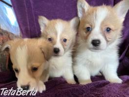 Krásne šteniatka welsh corgi Pembroke , Zvieratá, Psy  | Tetaberta.sk - bazár, inzercia zadarmo