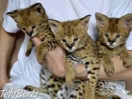 Savannah mačiatka pre vaše , Zvieratá, Mačky    Tetaberta.sk - bazár, inzercia zadarmo