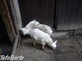 Kozičky , Zvieratá, Hospodárske zvieratá    Tetaberta.sk - bazár, inzercia zadarmo