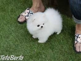 Pomeranian šteňatá na predaj , Zvieratá, Psy  | Tetaberta.sk - bazár, inzercia zadarmo