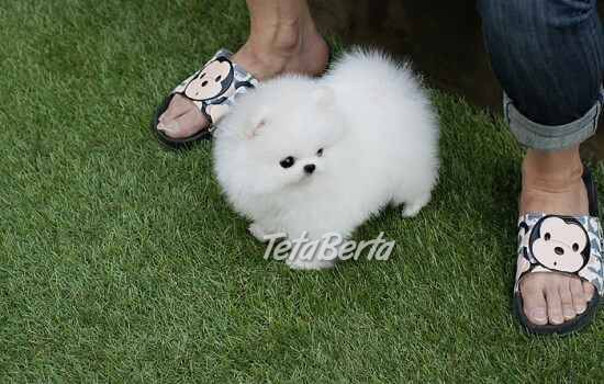 Pomeranian šteňatá na predaj, foto 1 Zvieratá, Psy | Tetaberta.sk - bazár, inzercia zadarmo