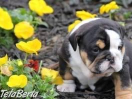 Anglický Bulldog šteniatka , Zvieratá, Psy    Tetaberta.sk - bazár, inzercia zadarmo
