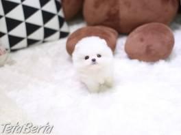 Pomeranian šteňa na predaj. , Zvieratá, Psy  | Tetaberta.sk - bazár, inzercia zadarmo