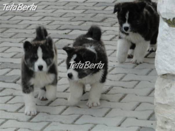 Akita Inu šteňatá na predaj 54c7c93b703