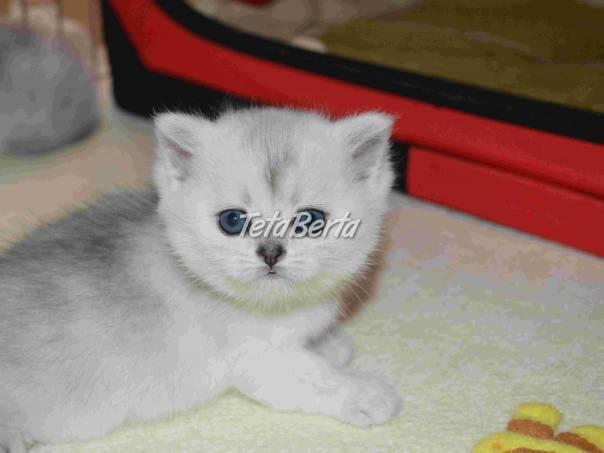 Atraktívne britské mačiatka s PP  42ecc5b738c