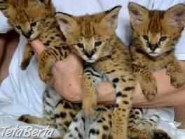samce a samice savannah mačiatka na predaj