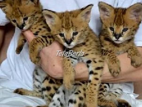 samce a samice savannah mačiatka na predaj, foto 1 Zvieratá, Mačky | Tetaberta.sk - bazár, inzercia zadarmo