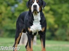 Veľký švajčiarsky salašnícky pes , Zvieratá, Psy  | Tetaberta.sk - bazár, inzercia zadarmo
