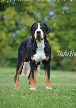 Veľký švajčiarsky salašnícky pes, foto 1 Zvieratá, Psy | Tetaberta.sk - bazár, inzercia zadarmo