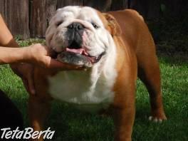 Anglický buldog -bulldog-krytie , Zvieratá, Psy  | Tetaberta.sk - bazár, inzercia zadarmo