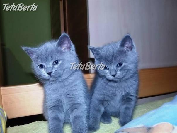 predám britské mačiatka súrne  53f2ebb3594