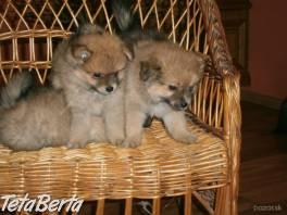 Pomeranian , Zvieratá, Psy  | Tetaberta.sk - bazár, inzercia zadarmo