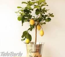 Predaj citrusov , Dom a záhrada, Zo záhradky  | Tetaberta.sk - bazár, inzercia zadarmo