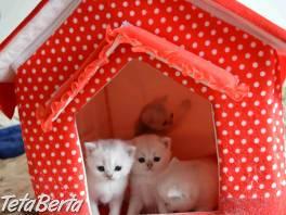 Milé a atraktívne strieborné britské mačiatka s PP , Zvieratá, Mačky  | Tetaberta.sk - bazár, inzercia zadarmo