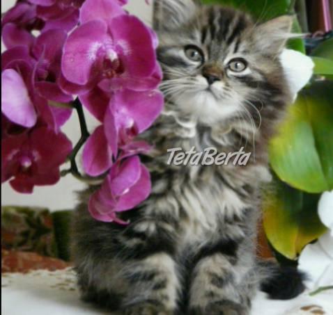 Perzské mačiatka  504e380603e