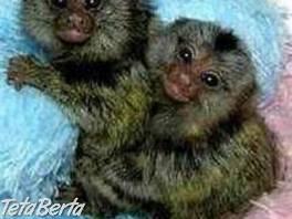 Opice Marmoset