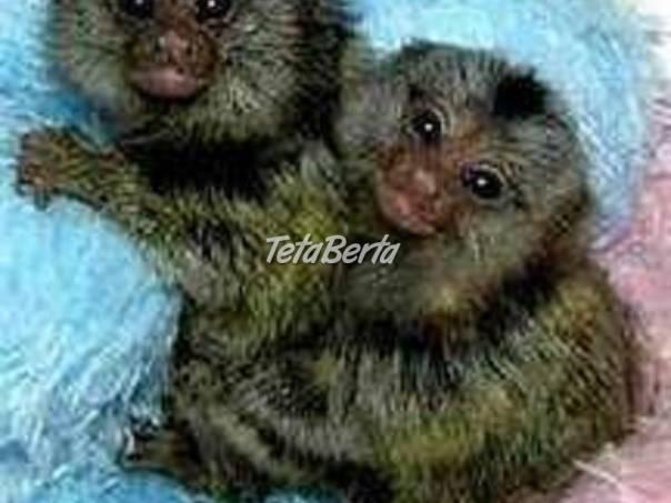 Opice Marmoset, foto 1 Zvieratá, Ostatné | Tetaberta.sk - bazár, inzercia zadarmo