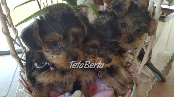 Nádherné yorkshirské teriéry pre vás, foto 1 Zvieratá, Psy | Tetaberta.sk - bazár, inzercia zadarmo