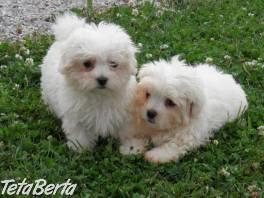 Inteligentné maltské šteňatá pre adopciu , Zvieratá, Psy  | Tetaberta.sk - bazár, inzercia zadarmo