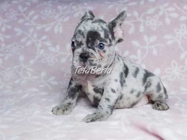 Dobre vyškolení francúzsky buldoček šteňatá, foto 1 Zvieratá, Psy | Tetaberta.sk - bazár, inzercia zadarmo