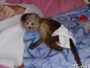 Nádherná krásna kapucínská opica na prijatie, foto 1 Zvieratá, Ostatné | Tetaberta.sk - bazár, inzercia zadarmo