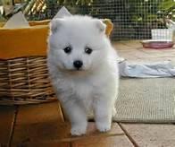 Rozkošné šteniatka Akita pre prijatie , Zvieratá, Psy  | Tetaberta.sk - bazár, inzercia zadarmo