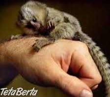 Opice Marmoset na adopciu. , Zvieratá, Ostatné  | Tetaberta.sk - bazár, inzercia zadarmo