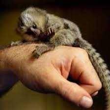 Opice Marmoset na adopciu., foto 1 Zvieratá, Ostatné | Tetaberta.sk - bazár, inzercia zadarmo