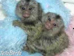 kapucín opice na predaj , Zvieratá, Ostatné    Tetaberta.sk - bazár, inzercia zadarmo