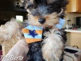 Úžasné šteniatka jorkšírskeho teriéra , Zvieratá, Psy  | Tetaberta.sk - bazár, inzercia zadarmo