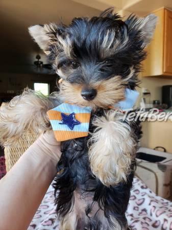 Úžasné šteniatka jorkšírskeho teriéra, foto 1 Zvieratá, Psy | Tetaberta.sk - bazár, inzercia zadarmo