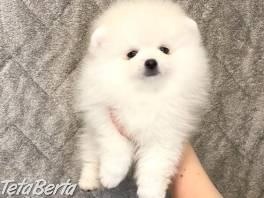 Pomeranian Spic , Zvieratá, Psy  | Tetaberta.sk - bazár, inzercia zadarmo