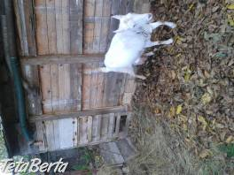 Predám kozu , Zvieratá, Hospodárske zvieratá    Tetaberta.sk - bazár, inzercia zadarmo