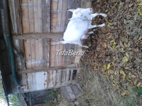 Predám kozu, foto 1 Zvieratá, Hospodárske zvieratá | Tetaberta.sk - bazár, inzercia zadarmo