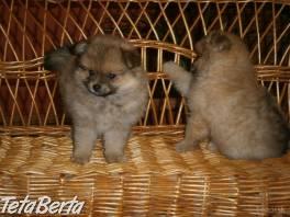 Nemecký špic - Pomeranian  , Zvieratá, Psy  | Tetaberta.sk - bazár, inzercia zadarmo