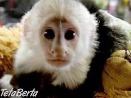 Opice kapucínové na adopciu. , Zvieratá, Ostatné  | Tetaberta.sk - bazár, inzercia zadarmo