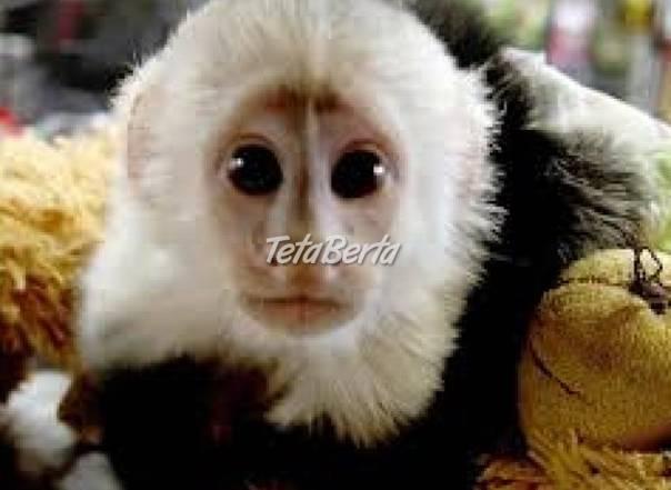 Opice kapucínové na adopciu., foto 1 Zvieratá, Ostatné | Tetaberta.sk - bazár, inzercia zadarmo