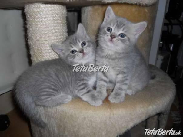 darujem britské modré mačiatka  6ad4f2ebf9a