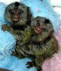 2 opice kosmana pre nový domov, foto 1 Zvieratá, Ostatné | Tetaberta.sk - bazár, inzercia zadarmo
